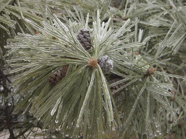 pine_frising_rain.jpg