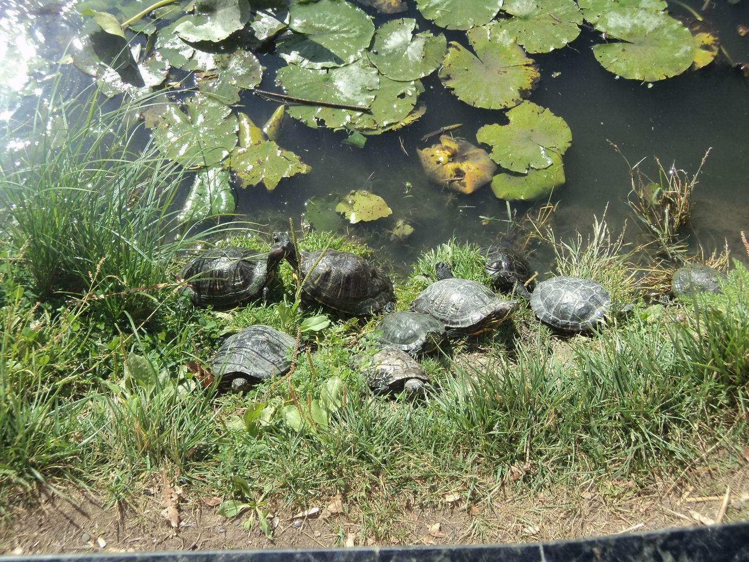 Черепахи (2).JPG