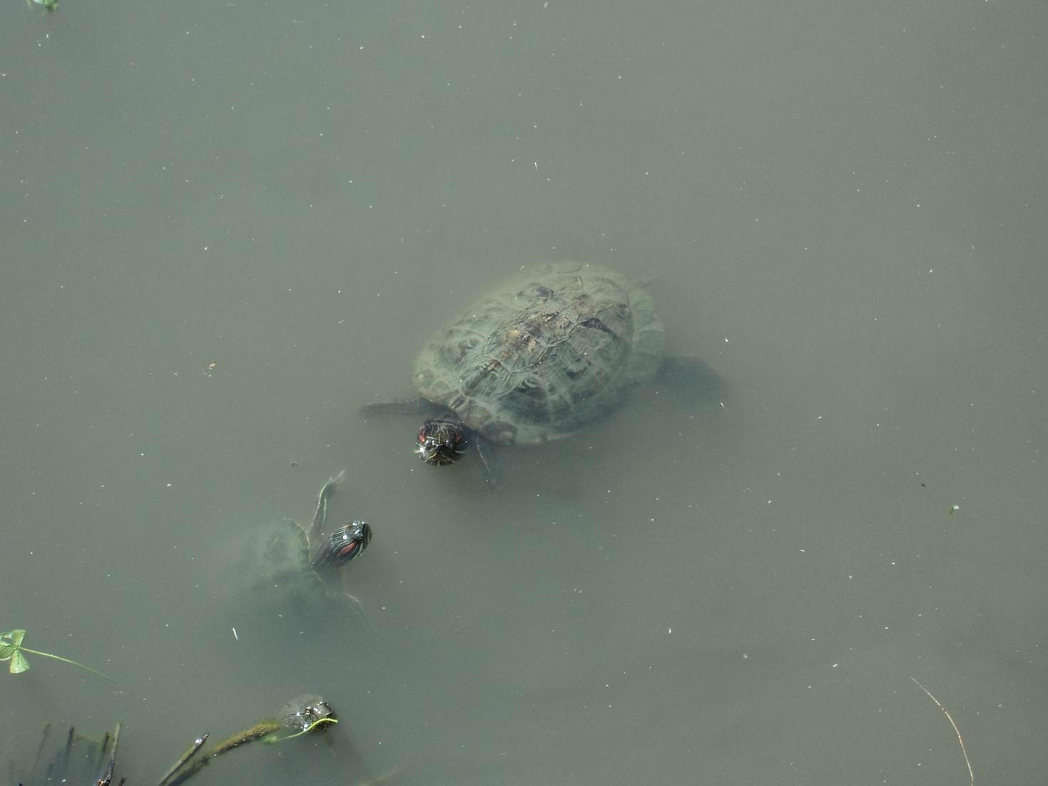 Черепахи (4).JPG